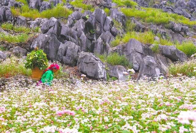 Buckwheat flower season in Cao Bang
