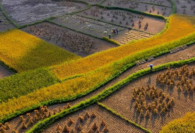 Paddy fields in harvest season in cao bang vietnam.